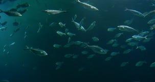 Βαθιά ψάρια στο μεγάλο ενυδρείο απόθεμα βίντεο