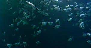 Βαθιά ψάρια στο μεγάλο ενυδρείο φιλμ μικρού μήκους