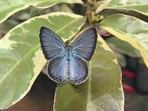 Βαθυγάλανη πεταλούδα της Κεϋλάνης Στοκ εικόνα με δικαίωμα ελεύθερης χρήσης