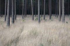 βαθύς πιό forrest Στοκ Εικόνα
