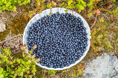 Βακκίνια σε ένα πιάτο υπαίθρια στη θαμνώδη βλάστηση Στοκ εικόνα με δικαίωμα ελεύθερης χρήσης