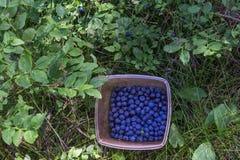 Βακκίνια στο εμπορευματοκιβώτιο στο δάσος στοκ φωτογραφία με δικαίωμα ελεύθερης χρήσης