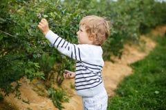 Βακκίνιο επιλογής μικρών παιδιών στο οργανικό μόνο αγρόκτημα επιλογών Στοκ εικόνα με δικαίωμα ελεύθερης χρήσης