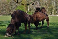 Βακτριανές καμήλες που βόσκουν στο λιβάδι στοκ εικόνα