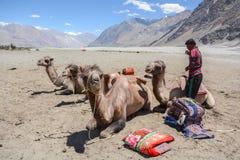Βακτριανές καμήλες στην κοιλάδα Nubra, Ladakh, Ινδία στοκ εικόνες