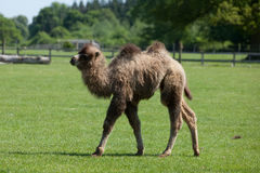 βακτριανή καμήλα Στοκ φωτογραφίες με δικαίωμα ελεύθερης χρήσης