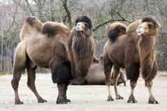 Βακτριανή καμήλα Στοκ Φωτογραφίες