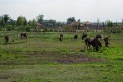Βακτριανή καμήλα - Ασία Στοκ Φωτογραφίες