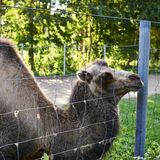 Βακτριανή καμήλα πίσω από το φράκτη καλωδίων στοκ εικόνες