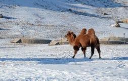 Βακτριανή καμήλα στη χιονώδη μογγολική στέπα Στοκ εικόνα με δικαίωμα ελεύθερης χρήσης