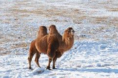 Βακτριανή καμήλα στη χιονώδη μογγολική στέπα Στοκ Εικόνες