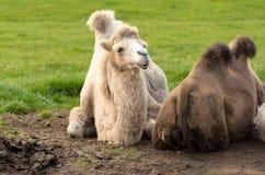 Βακτριανή καμήλα στο longleat Αγγλία Στοκ Εικόνα