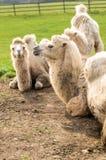 Βακτριανή καμήλα στο longleat Αγγλία Στοκ φωτογραφία με δικαίωμα ελεύθερης χρήσης