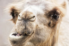 Βακτριανή καμήλα - χιουμοριστικό πορτρέτο κινηματογραφήσεων σε πρώτο πλάνο bactrianus Camelus Στοκ εικόνες με δικαίωμα ελεύθερης χρήσης