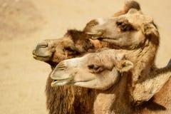 βακτριανή καμήλα Στοκ εικόνα με δικαίωμα ελεύθερης χρήσης