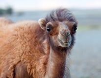 βακτριανή καμήλα Στοκ φωτογραφία με δικαίωμα ελεύθερης χρήσης
