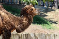 βακτριανή καμήλα Στοκ Εικόνα