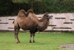 Βακτριανή καμήλα - bactrianus Camelus Στοκ εικόνα με δικαίωμα ελεύθερης χρήσης