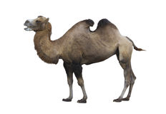 Βακτριανή καμήλα (bactrianus camelus) Στοκ φωτογραφία με δικαίωμα ελεύθερης χρήσης