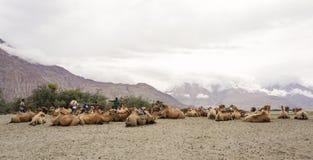 Βακτριανή καμήλα Nubra στην κοιλάδα, Ladakh στοκ φωτογραφία με δικαίωμα ελεύθερης χρήσης