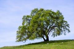 Βαλανιδιά κοιλάδων (Quercus lobata) σε έναν λόφο με τα νέα πράσινα φύλλα που αυξάνονται στην άνοιξη, κόλπος νομών της Σάντα Κλάρα στοκ φωτογραφία