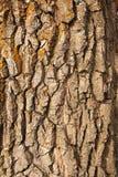 βαλανιδιά φλοιών Στοκ Φωτογραφία