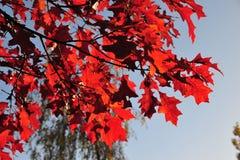 βαλανιδιά φύλλων φθινοπώρου στοκ εικόνες