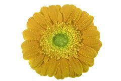 βαλεντίνοι gerbera λουλουδ&io Στοκ Εικόνες