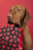 Βαλεντίνος σκυλιών Στοκ φωτογραφίες με δικαίωμα ελεύθερης χρήσης