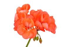 Βαλσαμώδες λουλούδι γερανιών στοκ εικόνες