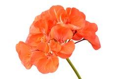 Βαλσαμώδες λουλούδι γερανιών στοκ φωτογραφία με δικαίωμα ελεύθερης χρήσης