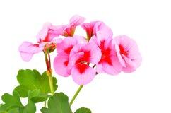 Βαλσαμώδες λουλούδι γερανιών στοκ φωτογραφίες