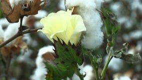 Βαμβάκι λουλουδιών και ώριμο βαμβάκι απόθεμα βίντεο