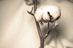 βαμβάκι Στοκ φωτογραφίες με δικαίωμα ελεύθερης χρήσης