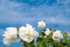 βαμβάκι rosemallow Στοκ εικόνες με δικαίωμα ελεύθερης χρήσης