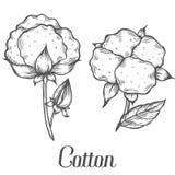 Βαμβακόφυτο, οφθαλμός, φύλλο, φυτό, κλάδος Συρμένη χέρι χαραγμένη διανυσματική απεικόνιση μελανιού σκίτσων ελεύθερη απεικόνιση δικαιώματος