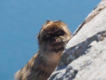 Βαρβαρία macaque ή πίθηκος Gibralter, sylvanus Macaca Στοκ φωτογραφίες με δικαίωμα ελεύθερης χρήσης
