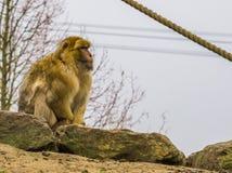 Βαρβαρία macaque, διακυβευμένος πίθηκος από τα βουνά του Μαρόκου, πορτρέτο πιθήκων στοκ φωτογραφίες