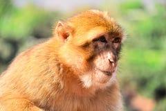 Βαρβαρία macaque στις πτώσεις Ouzoud σε Morocc Στοκ Φωτογραφία