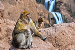 Βαρβαρία macaque στις πτώσεις Ouzoud σε Morocc Στοκ Φωτογραφίες