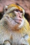 Βαρβαρία macaque στις πτώσεις Ouzoud σε Morocc Στοκ εικόνα με δικαίωμα ελεύθερης χρήσης