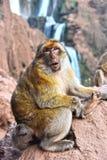 Βαρβαρία macaque στις πτώσεις Ouzoud σε Morocc Στοκ φωτογραφίες με δικαίωμα ελεύθερης χρήσης