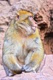 Βαρβαρία macaque στις πτώσεις Ouzoud σε Morocc Στοκ εικόνες με δικαίωμα ελεύθερης χρήσης