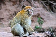 Βαρβαρία macaque στις πτώσεις Ouzoud σε Morocc Στοκ φωτογραφία με δικαίωμα ελεύθερης χρήσης