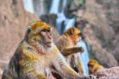 Βαρβαρία macaque στις πτώσεις Ouzoud σε Morocc Στοκ Εικόνες