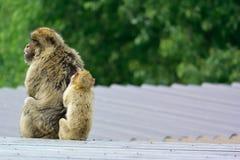 Βαρβαρία macaque Στοκ Εικόνες