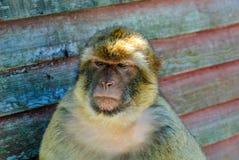 Βαρβαρία macaque στοκ φωτογραφία