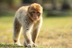 Βαρβαρία macaque strolling στοκ εικόνες
