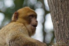 Βαρβαρία Macaque - sylvanus Macaca Στοκ εικόνες με δικαίωμα ελεύθερης χρήσης