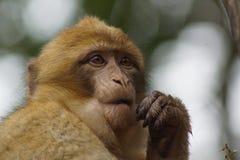 Βαρβαρία Macaque - sylvanus Macaca Στοκ Φωτογραφία